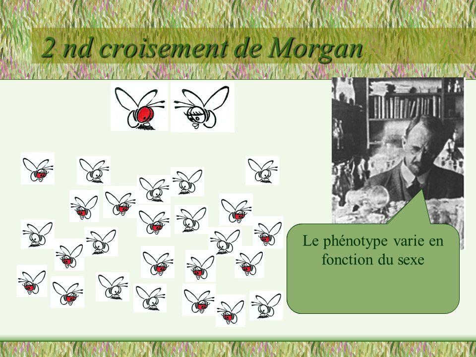 1 er croisement de Morgan (X+//X + ) (Y//X w )