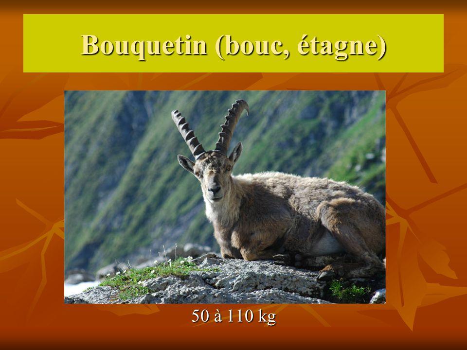 Bouquetin (bouc, étagne) 50 à 110 kg