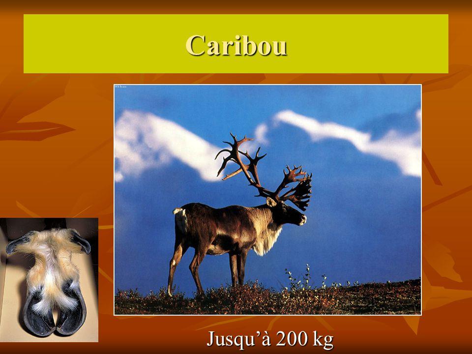 Caribou Jusquà 200 kg