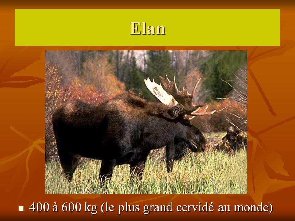 Elan 400 à 600 kg (le plus grand cervidé au monde) 400 à 600 kg (le plus grand cervidé au monde)