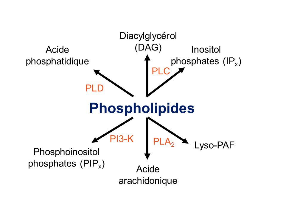 Phospholipides Acide phosphatidique PLD Acide arachidonique Lyso-PAF PLA 2 Diacylglycérol (DAG) Inositol phosphates (IP x ) PLC Phosphoinositol phosphates (PIP x ) PI3-K