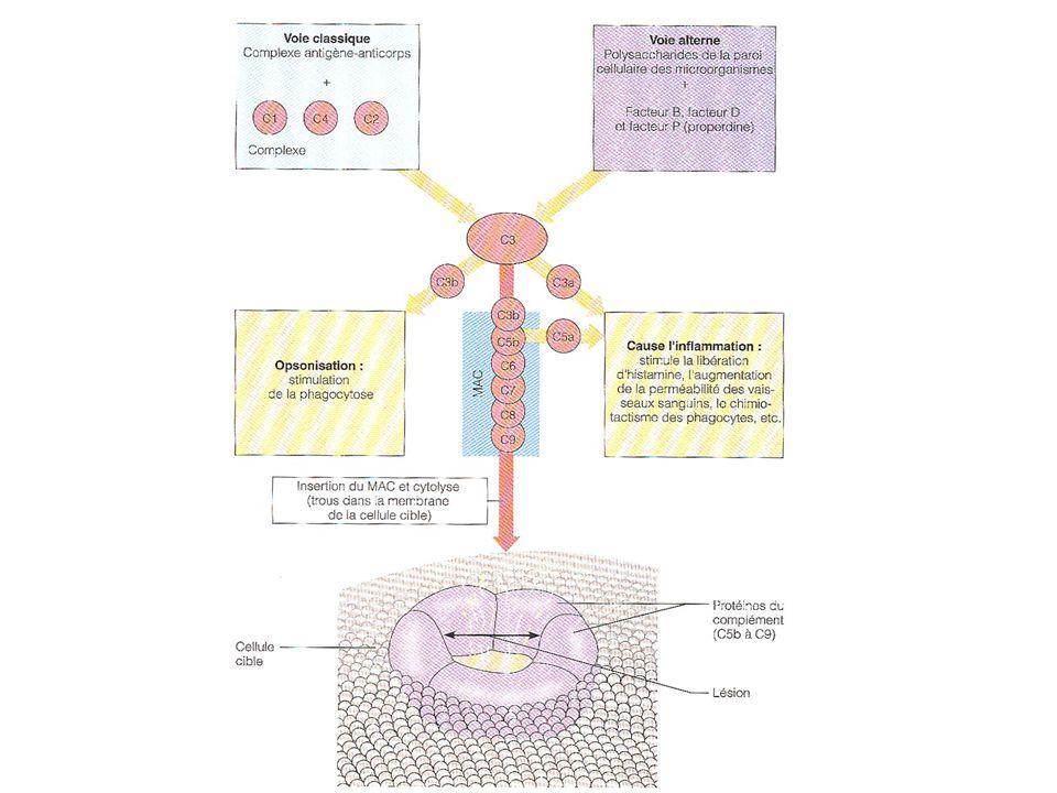 TXA 2 stabilité 30-40 sec TXB 2 Contraction de laorte / Agrégation des plaquettes PGF 2 (série F) Contraction des muscles lisses PGE 2 (série E) Relaxation des muscles lisses, vasodilatateur Augmente lAMP-cyclique Inhibe les fonctions des leucocytes PGI 2 stabilité de quelques sec PGF 1 Vasodilation / Inhibition de lagrégation des plaquettes Inhibition des fonctions leucocytaires Augmente lAMP-cyclique Quelques caractéristiques des prostaglandines