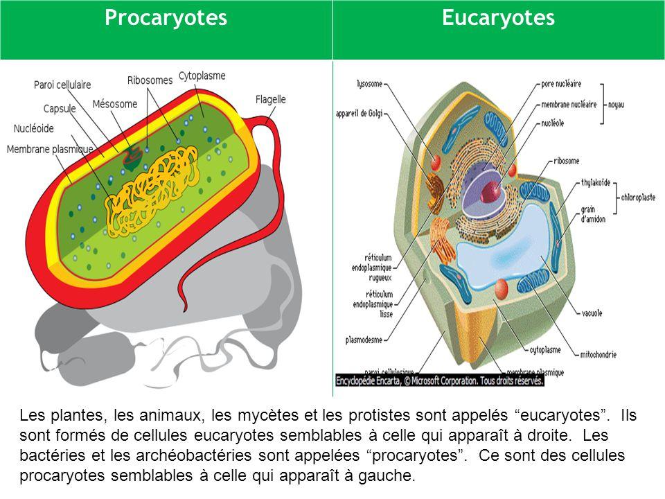 ProcaryotesEucaryotes Les plantes, les animaux, les mycètes et les protistes sont appelés eucaryotes.