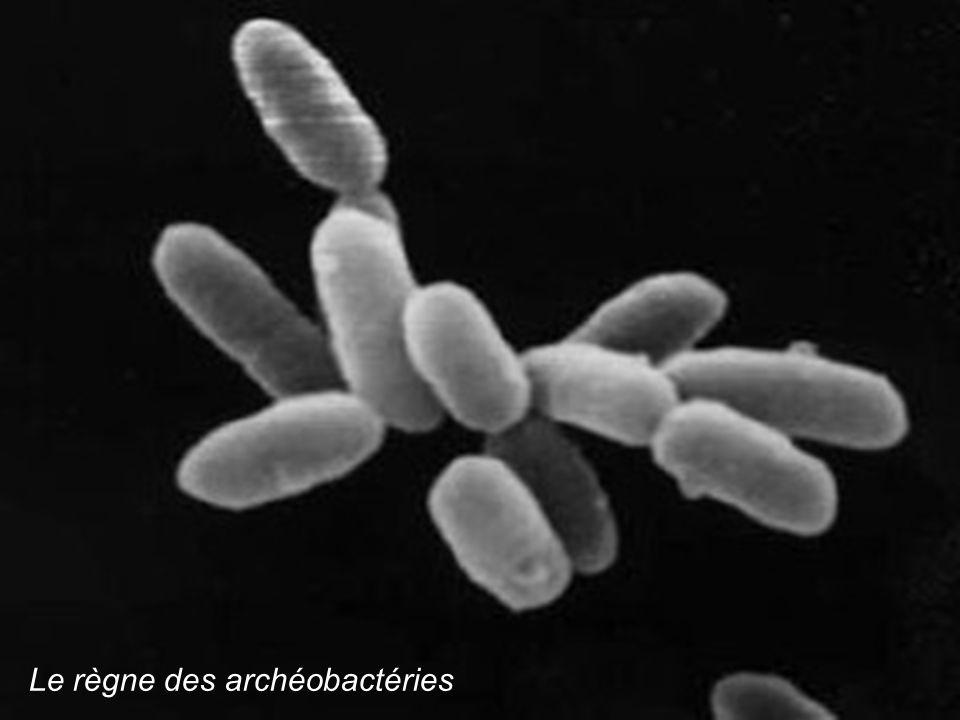 Le règne des archéobactéries