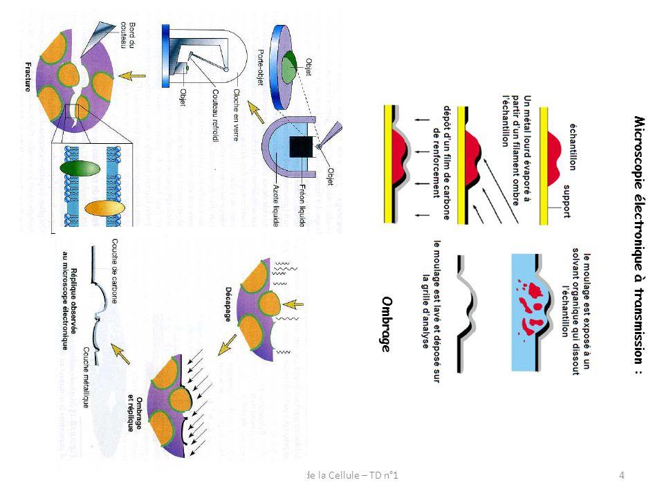 Titre : ___________________________ Légendez cette micrographie Biologie de la Cellule – TD n°15