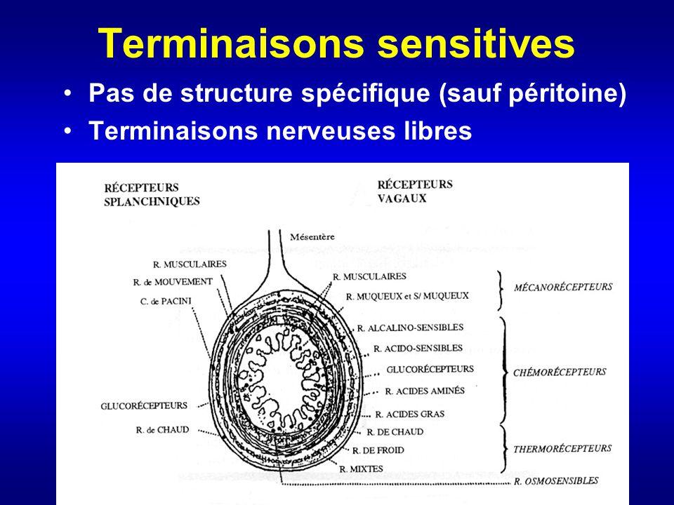 Terminaisons sensitives Pas de structure spécifique (sauf péritoine) Terminaisons nerveuses libres