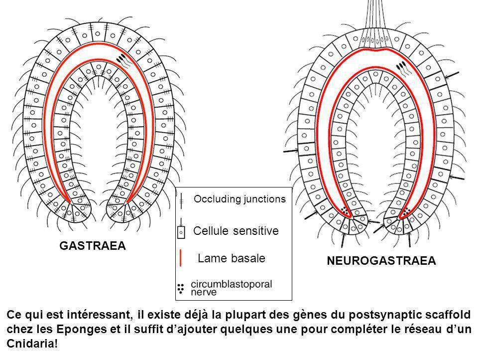 GASTRAEA NEUROGASTRAEA Occluding junctions Cellule sensitive Lame basale Ce qui est intéressant, il existe déjà la plupart des gènes du postsynaptic s