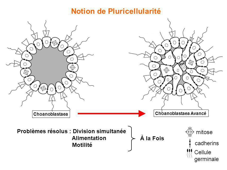 Notion de Pluricellularité Choanoblastaea Choanoblastaea Avancé Problèmes résolus : Division simultanée Alimentation Motilité mitose cadherins Cellule