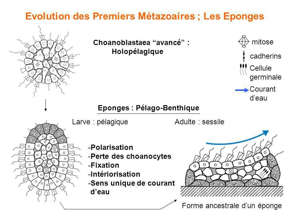 Evolution des Premiers Métazoaires ; Les Eponges Choanoblastaea avancé : Holopélagique Eponges : Pélago-Benthique Adulte : sessileLarve : pélagique mi