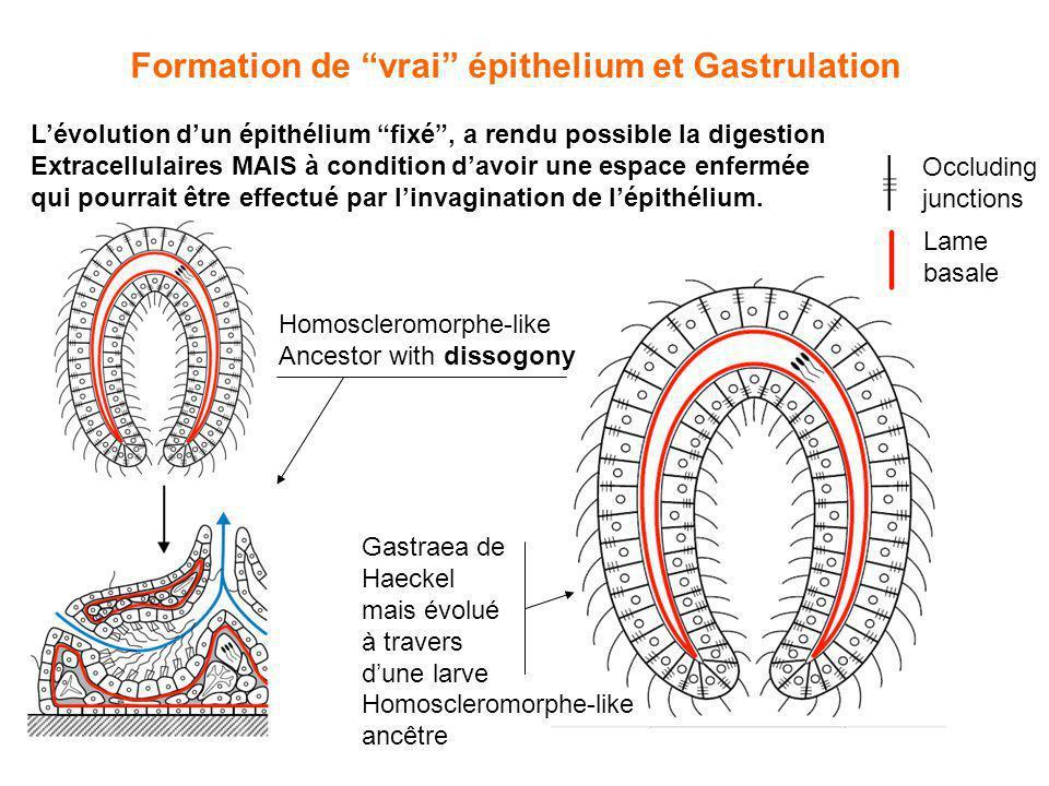 Formation de vrai épithelium et Gastrulation Lévolution dun épithélium fixé, a rendu possible la digestion Extracellulaires MAIS à condition davoir un