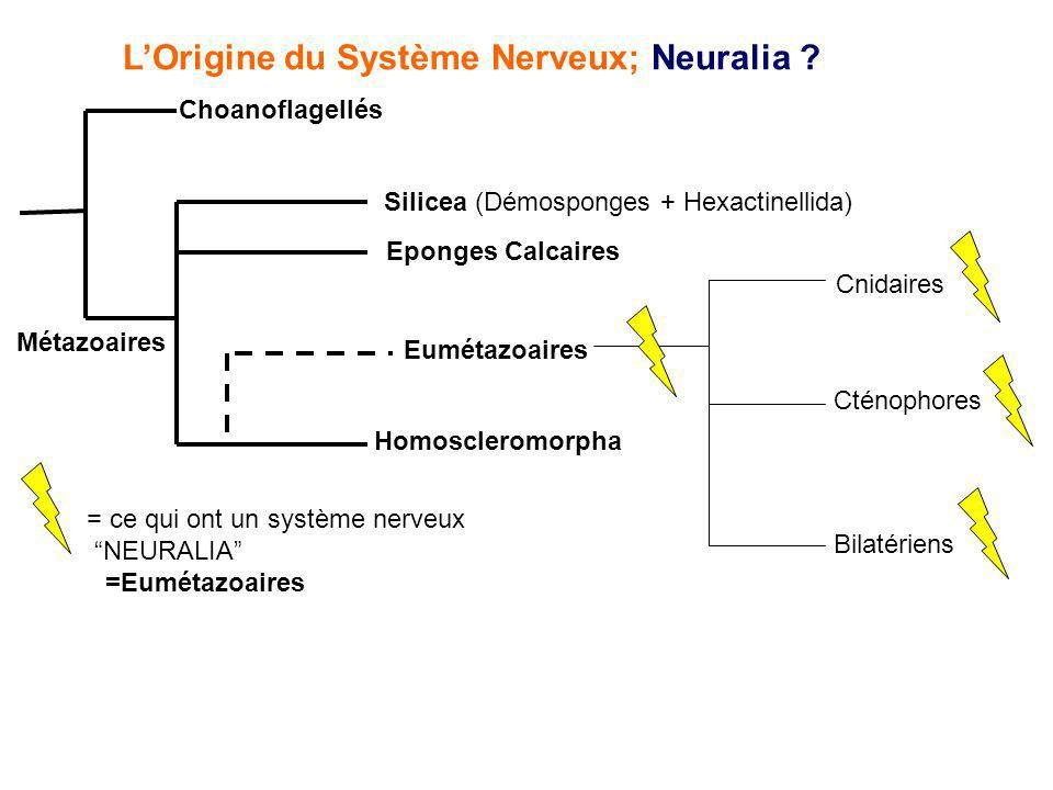 LOrigine du Système Nerveux; Neuralia ? Choanoflagellés Métazoaires Silicea (Démosponges + Hexactinellida) Eponges Calcaires Homoscleromorpha Eumétazo