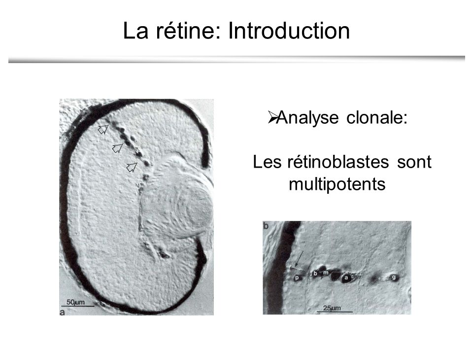 La rétine: Introduction Analyse clonale: Les rétinoblastes sont multipotents