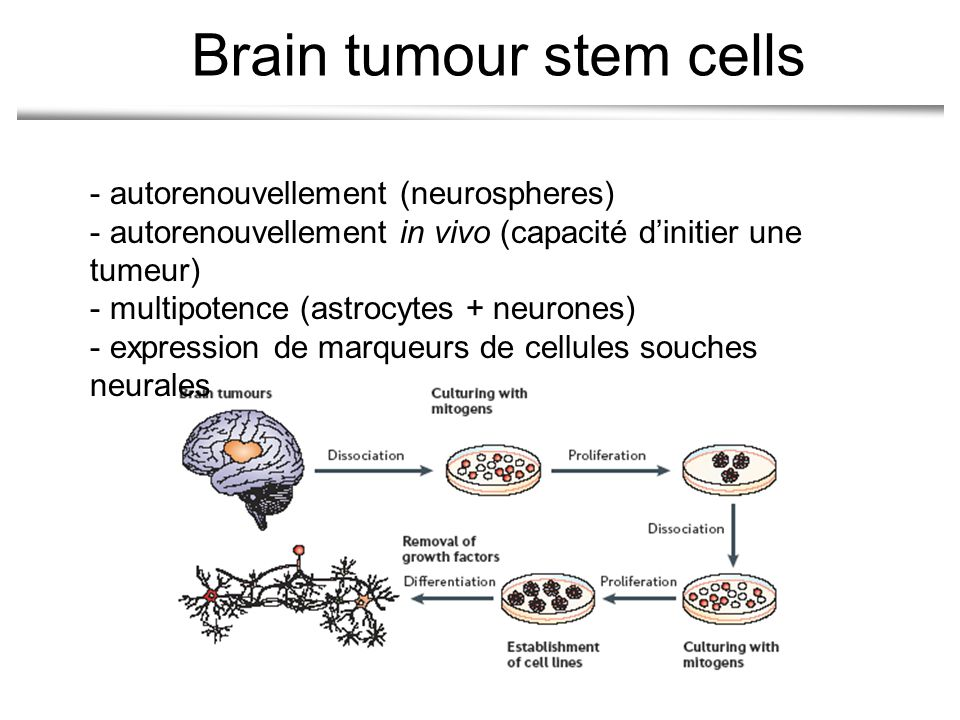 - autorenouvellement (neurospheres) - autorenouvellement in vivo (capacité dinitier une tumeur) - multipotence (astrocytes + neurones) - expression de marqueurs de cellules souches neurales Brain tumour stem cells