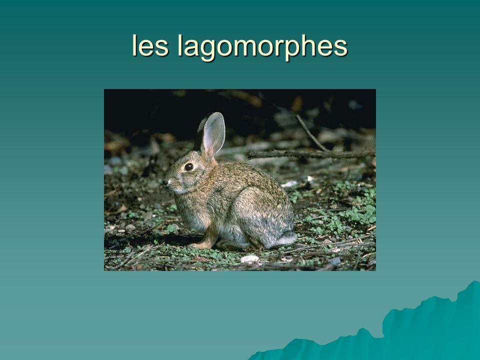 les lagomorphes