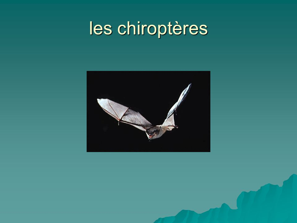 les chiroptères