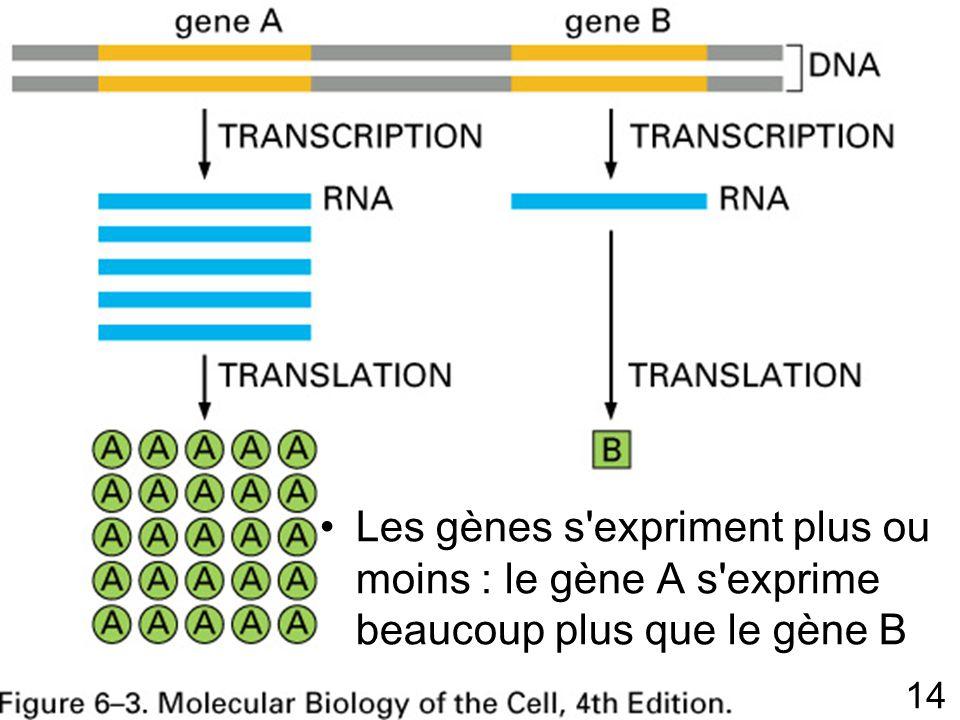 14 Fig 6-3 p 302 Les gènes s expriment plus ou moins : le gène A s exprime beaucoup plus que le gène B