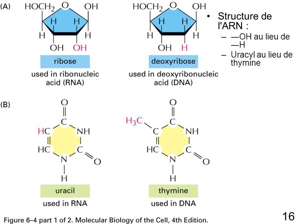 16 Fig 6-4p303(1) Structure de l ARN : –OH au lieu de H –Uracyl au lieu de thymine