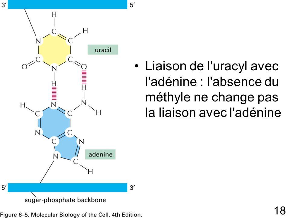 18 Fig 6-5p303 Liaison de l uracyl avec l adénine : l absence du méthyle ne change pas la liaison avec l adénine