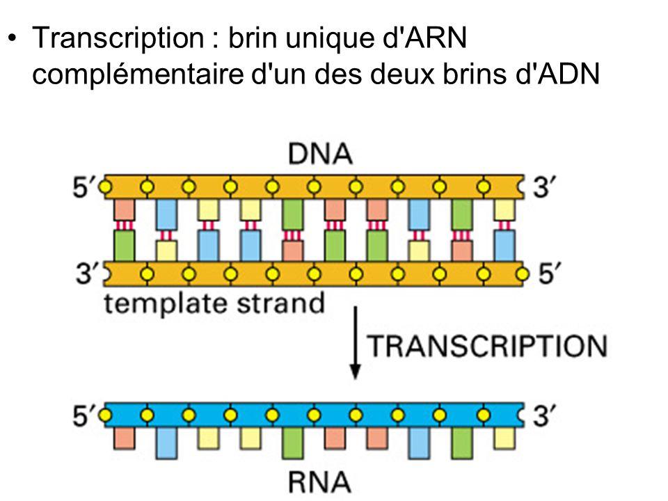21 Fig 6-7 p 303 Transcription : brin unique d ARN complémentaire d un des deux brins d ADN