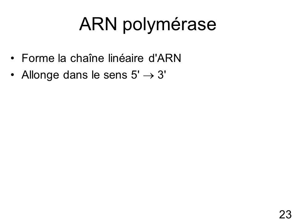 23 ARN polymérase Forme la chaîne linéaire d ARN Allonge dans le sens 5 3