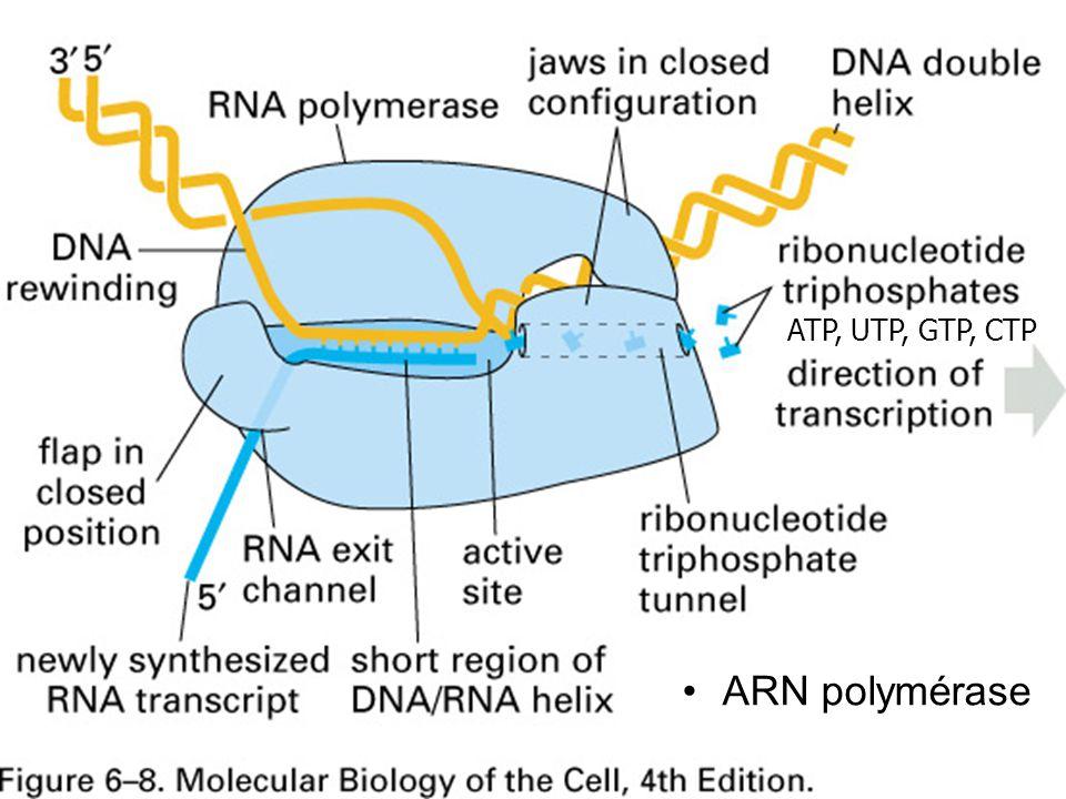24 Fig 6-8 p 305 ARN polymérase ATP, UTP, GTP, CTP