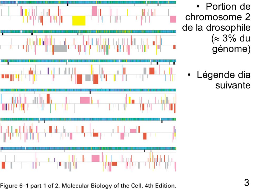 3 Fig 6-1 p300 Portion de chromosome 2 de la drosophile ( 3% du génome) Légende dia suivante