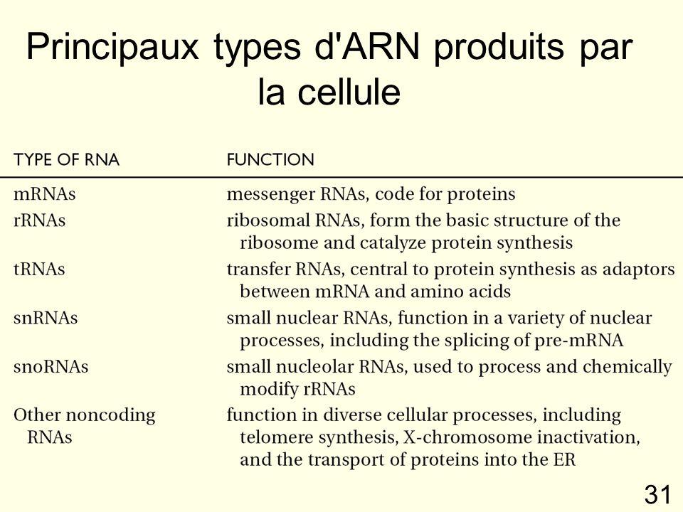 31 Principaux types d ARN produits par la cellule