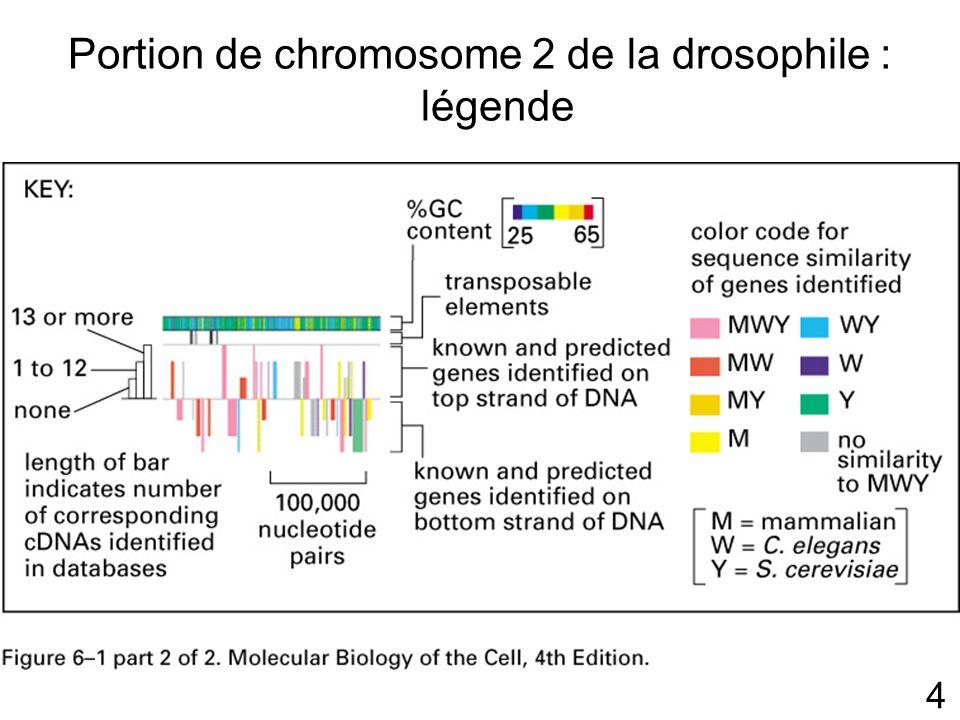 15 Transcription L information est recopiée dans un langage proche de l ADN Les nucléotides sont des ribonucléotides AUGC au lieu de ATGC dans l ADN ADN toujours en double hélice ARN en simple brin grandes variétés de formes nombreuses fonctions (structure et catalytique)