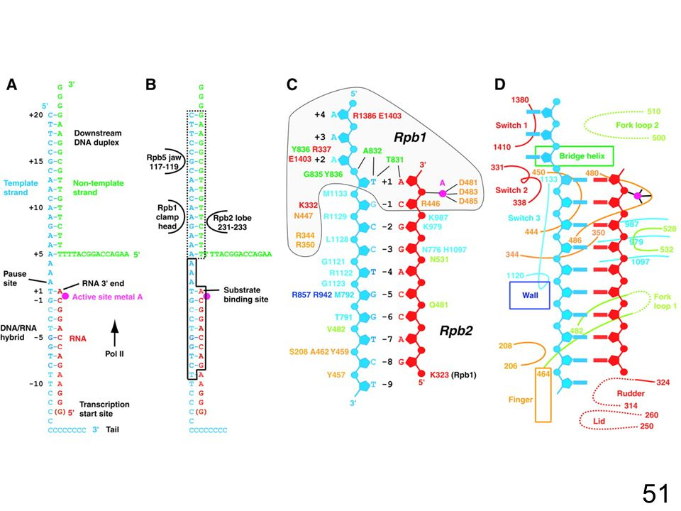 51 Fig. 1. Nucleic acids in the transcribing complex and their interactions with pol II. (A) DNA (