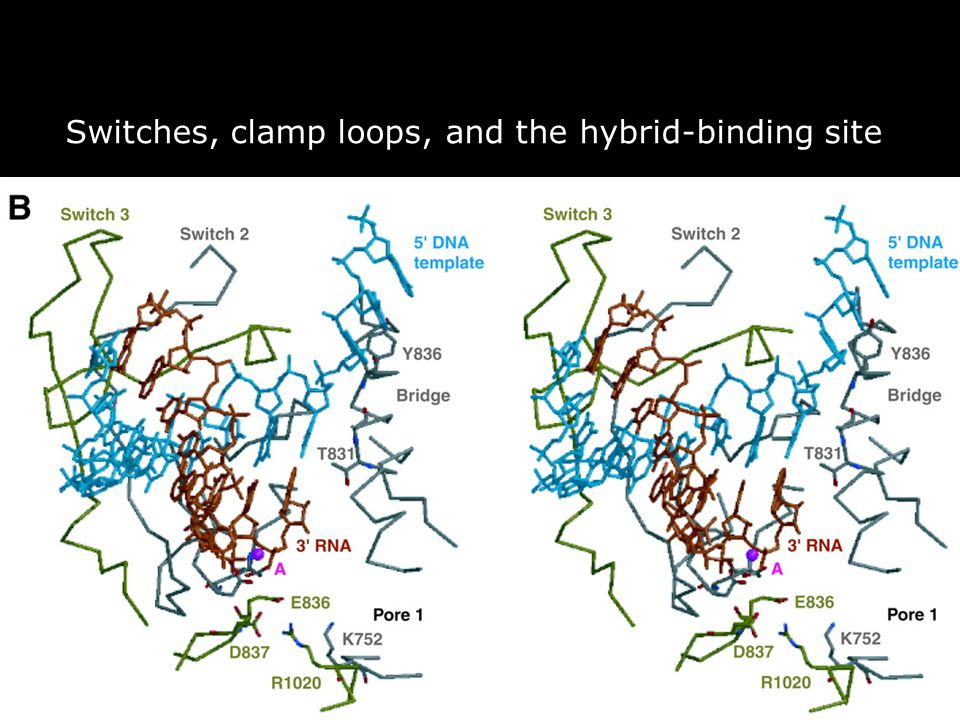 54 Fig. 3. Switches, clamp loops, and the hybrid-binding site. (B) Stereoview of nucleic acids bound in the active center. Gnatt,AL2001p1876fig3 Switc