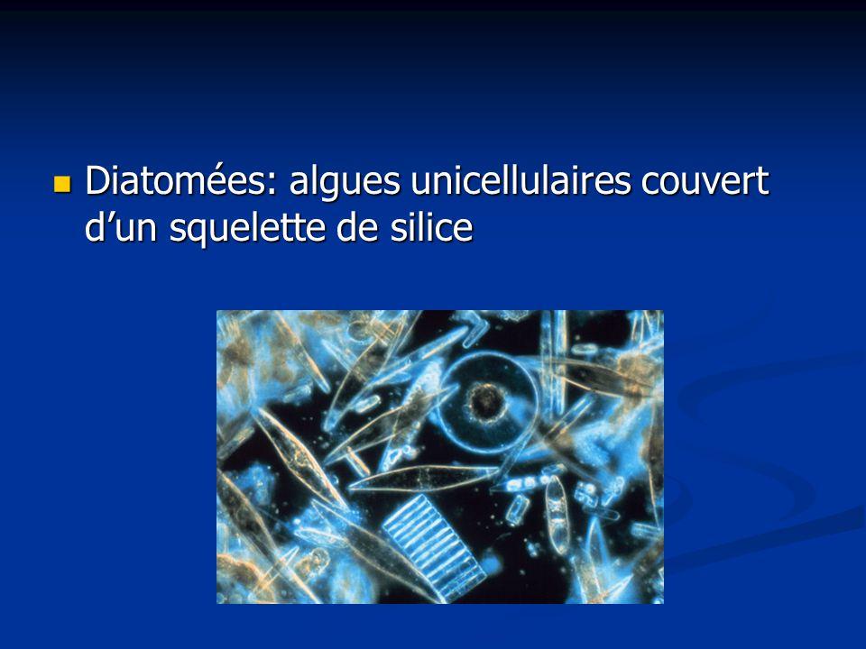 Diatomées: algues unicellulaires couvert dun squelette de silice Diatomées: algues unicellulaires couvert dun squelette de silice
