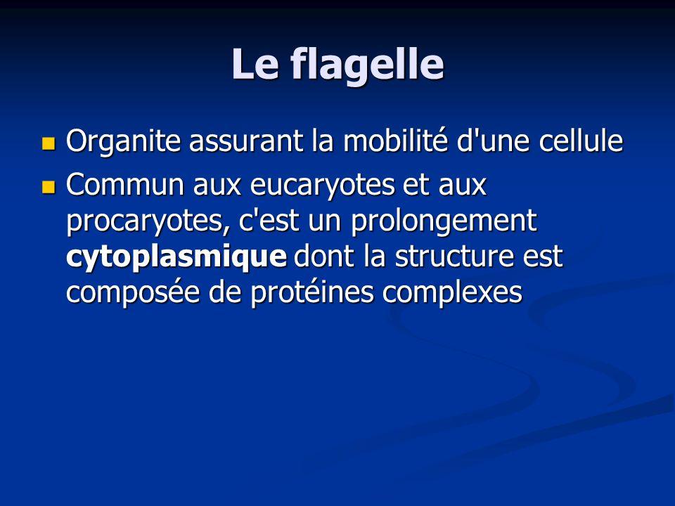 Le flagelle Organite assurant la mobilité d'une cellule Organite assurant la mobilité d'une cellule Commun aux eucaryotes et aux procaryotes, c'est un