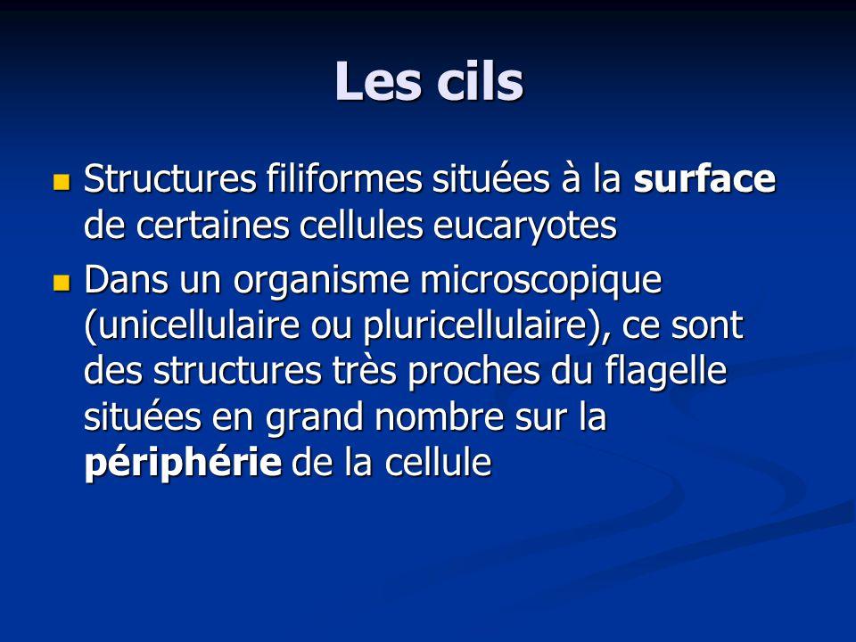 Les cils Structures filiformes situées à la surface de certaines cellules eucaryotes Structures filiformes situées à la surface de certaines cellules