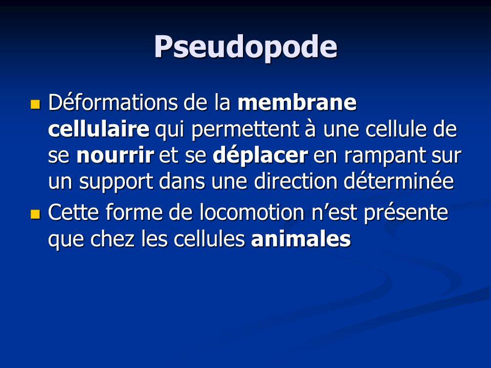 Pseudopode Déformations de la membrane cellulaire qui permettent à une cellule de se nourrir et se déplacer en rampant sur un support dans une directi