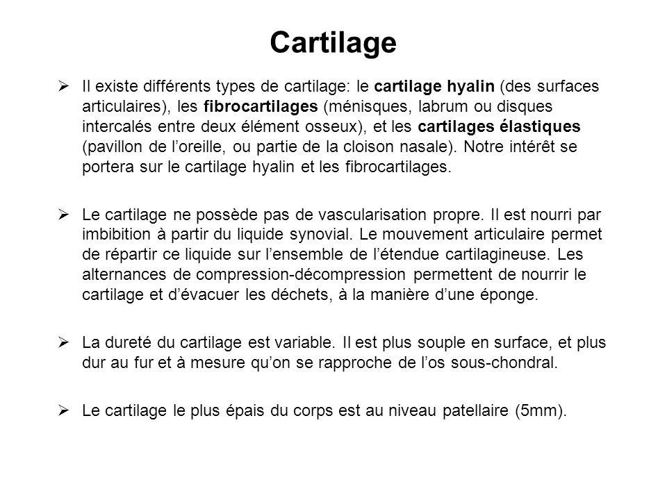 Cartilage Il existe différents types de cartilage: le cartilage hyalin (des surfaces articulaires), les fibrocartilages (ménisques, labrum ou disques