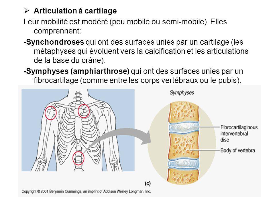 Articulation à cartilage Leur mobilité est modéré (peu mobile ou semi-mobile). Elles comprennent: -Synchondroses qui ont des surfaces unies par un car