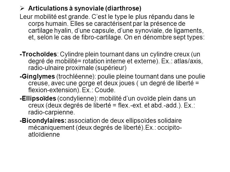 Articulations à synoviale (diarthrose) Leur mobilité est grande.