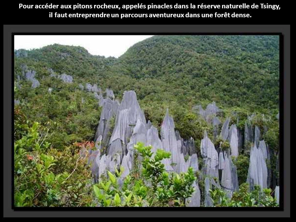 La forêt tropicale humide de Bornéo est touchée par une déforestation massive : des arbres millénaires sont abattus en grande quantité.