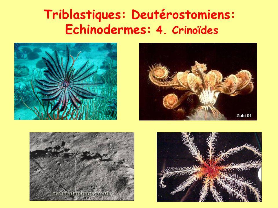Triblastiques: Deutérostomiens: Echinodermes: 4. Crinoïdes