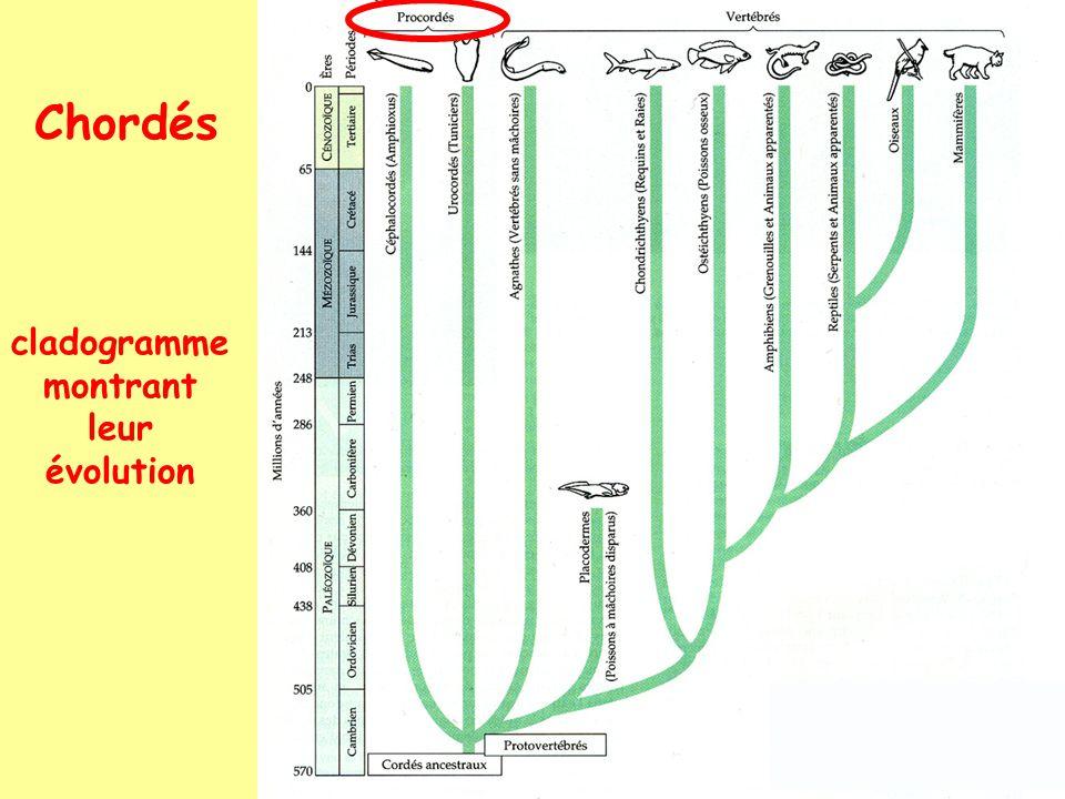 Triblastiques: Deutérostomiens: Chordés: Urochordés: 1. Ascidies