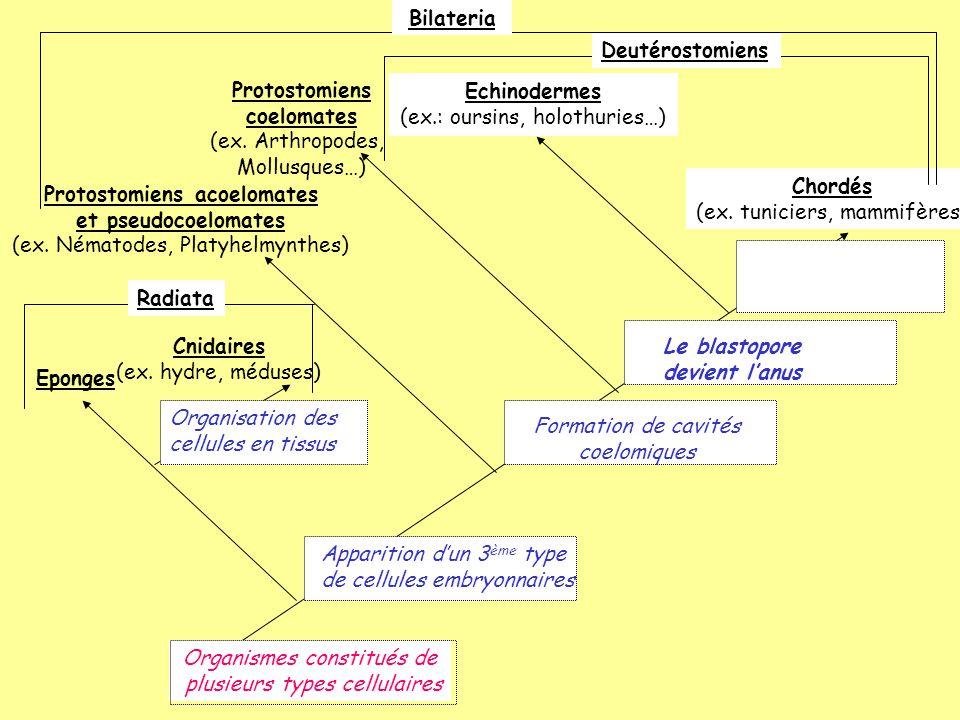 Cnidaires (ex. hydre, méduses) Eponges Organismes constitués de plusieurs types cellulaires Radiata Protostomiens acoelomates et pseudocoelomates (ex.