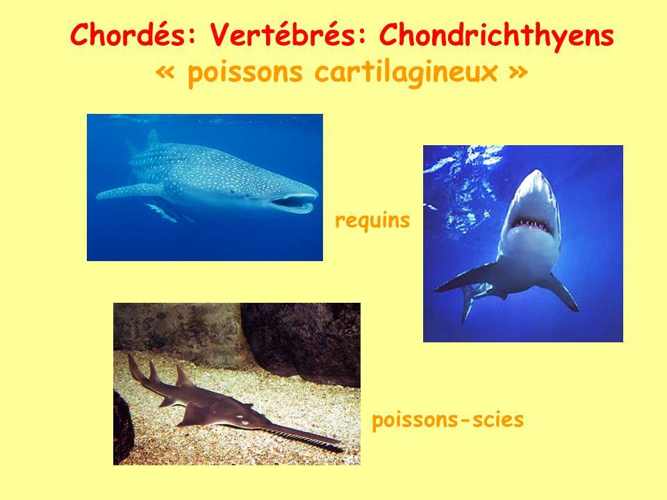 chimères raies - torpilles Chordés: Vertébrés: Chondrichthyens « poissons cartilagineux »