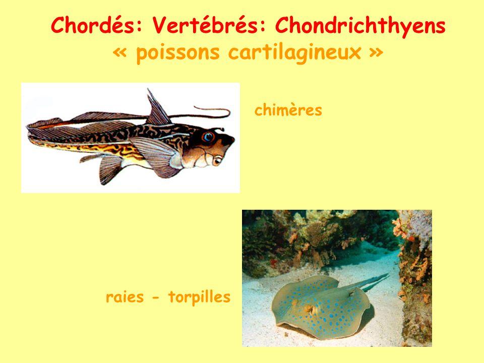 Chordés: Vertébrés: Ostéichthyens « poissons osseux » (Actinoptérygiens)
