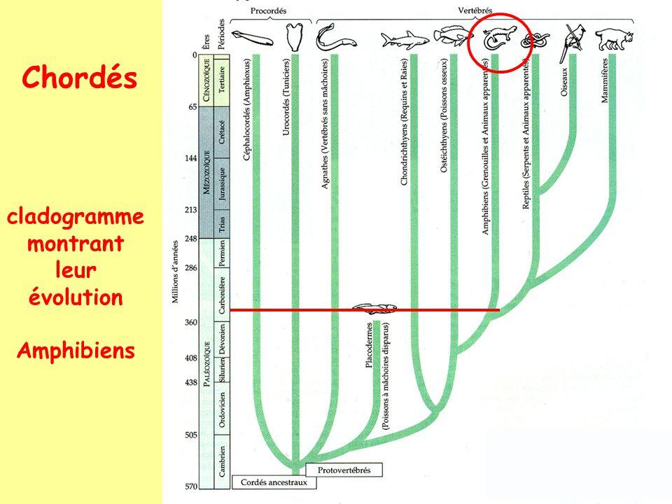 Chordés: Vertébrés: Amphibiens: 1. Urodèles salamandres, tritons...