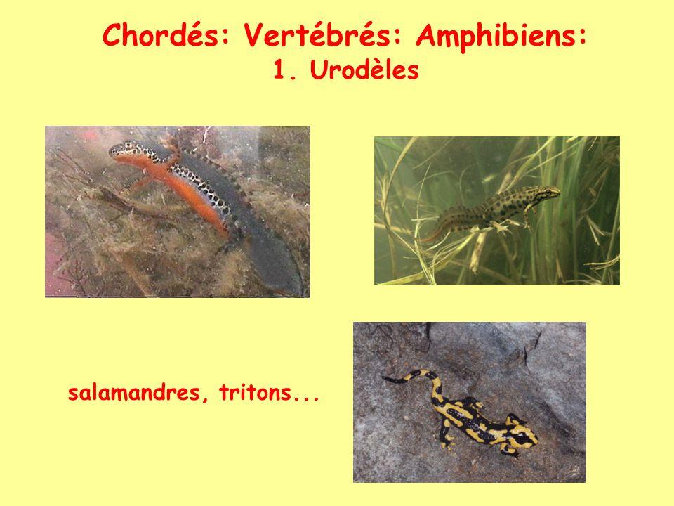 Chordés: Vertébrés: Amphibiens 2. Anoures crapauds, grenouilles...
