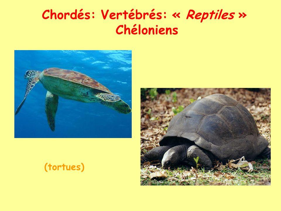 Chordés: Vertébrés: « Reptiles » Lépidosauriens Lacertiliens (lézards, varans, caméléons...) orvet