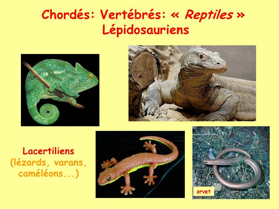 Chordés: Vertébrés: « Reptiles » Lépidosauriens Ophidiens (serpents)