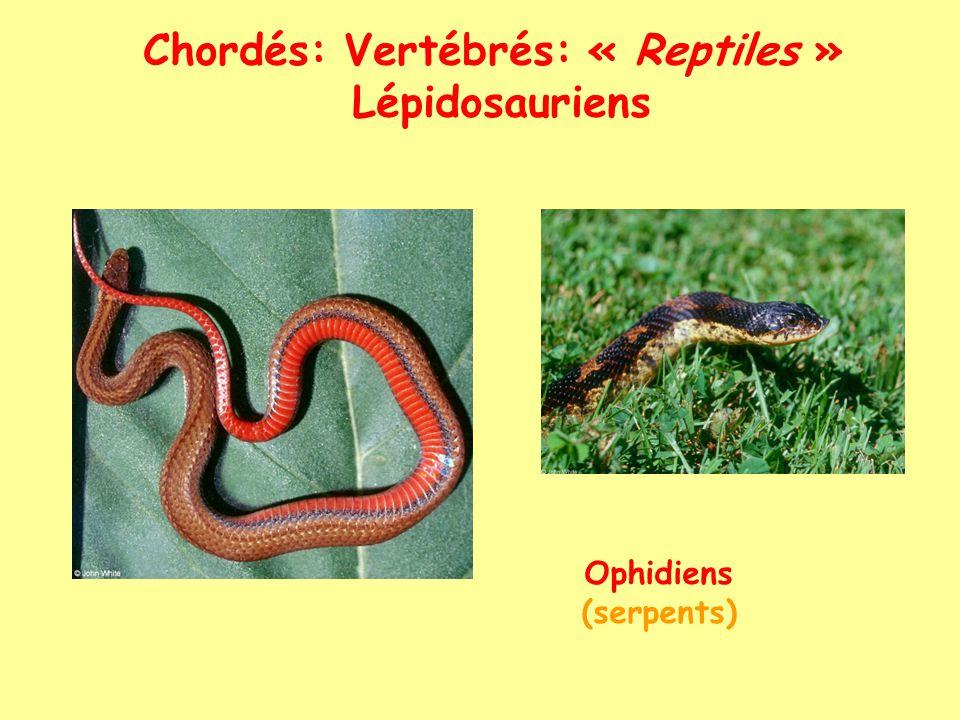 Chordés: Vertébrés: « Reptiles » Archosauriens Crocodiliens (crocodiles, gavials alligators)