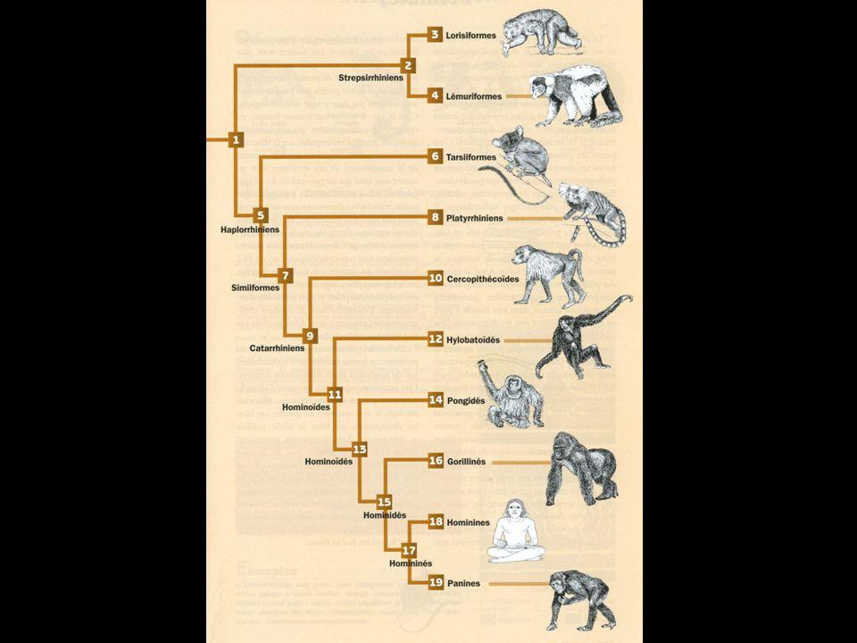 Vertébrés: Mammifères 3. Placentaires Primates Prosimiens (Loris)
