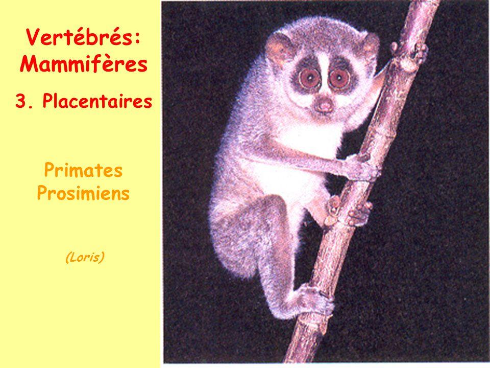 Vertébrés: Mammifères 3. Placentaires Primates Ceboïdes (Amér. Sud) (Ateles)